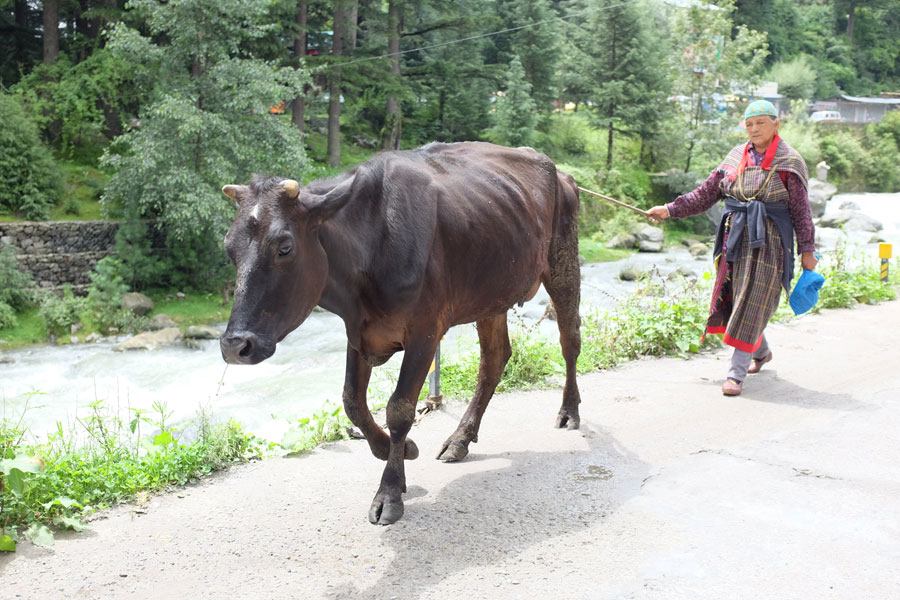 Old Manali India Cow Woman
