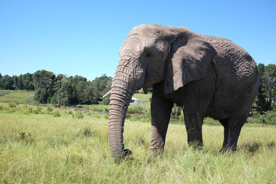 Elefant Südafrika Gardenroute / Elephant South Africa